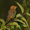 Bobolink at Sunrise