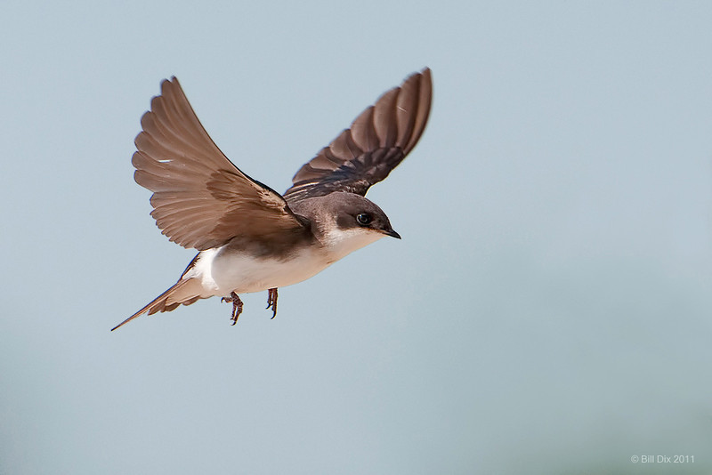 Tree Swallow, juvenile
