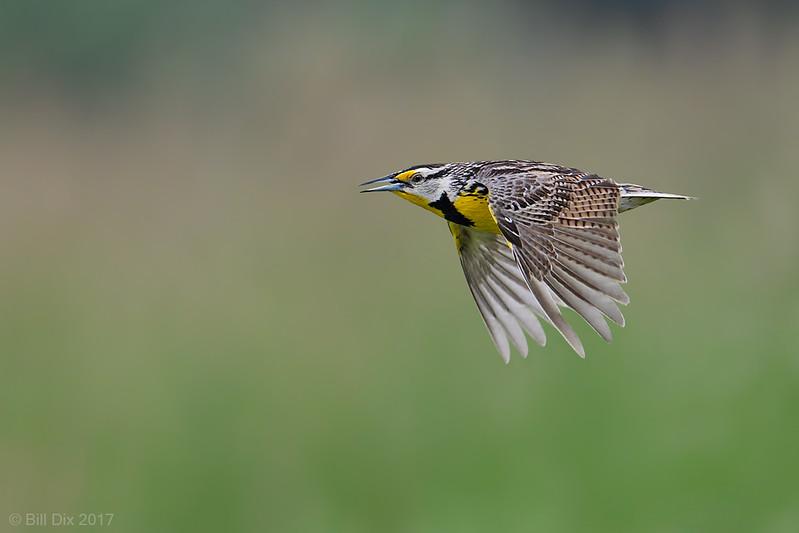 Eastern Meadowlark in flight