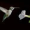 Ruby-throated Hummingbird, sub-adult male