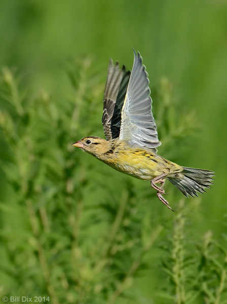 Bobolink in flight, non-breeding