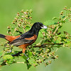 Orchard Oriole, male