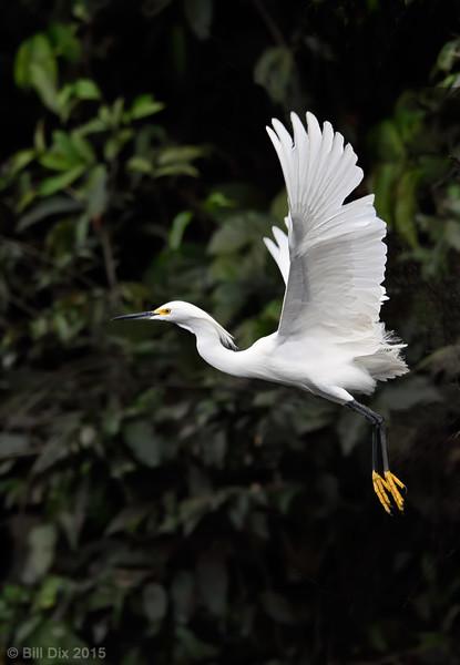 Snowy Egret Takeoff