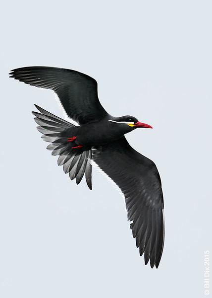 Inca Tern in flight