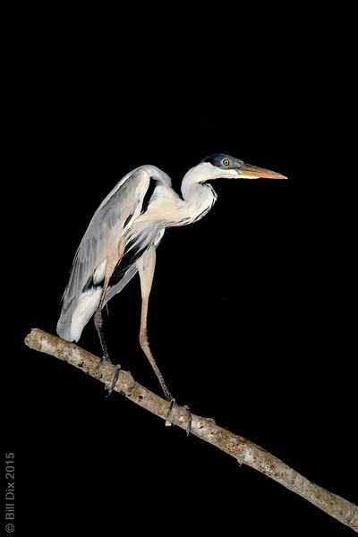 Cocoi Heron at night