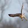 Red-tailed Hawk juvenile in flight