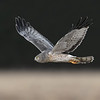 Northern Harrier male (Grey Ghost)