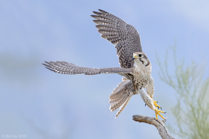 Prairie Falcon Take-off
