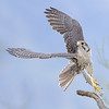 Prairie Falcon Take-off