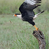 Crested Caracara (Northern Caracara) taking off