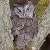 Eastern Screech-Owl (Grey Morph)