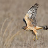 Northern Harrier with full crop