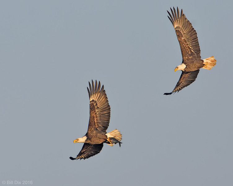 Bald Eagles in Chase