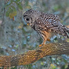 Barred Owl walking