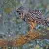 Barred Owl walking