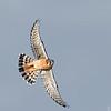 American Kestrel male in flight