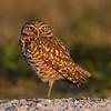 Burrowing Owl at last light