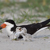 Black Skimmer chicks at play