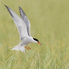 Common Tern landing with fish
