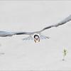 Common Tern juvenile, landing