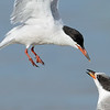 Common Terns, parent and juvenile