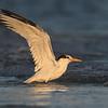 Royal Tern bathing