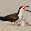 Black Skimmer Adult and Chick