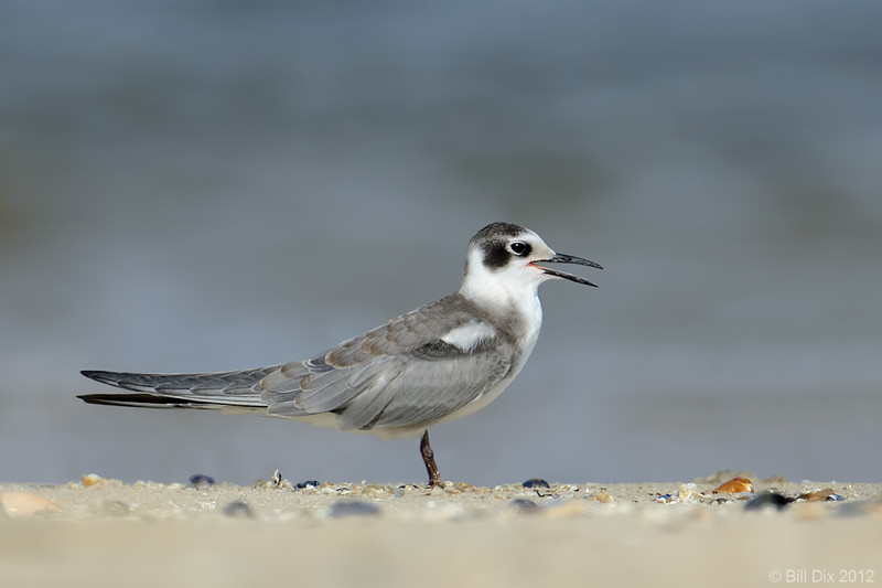 Black Tern, non-breeding