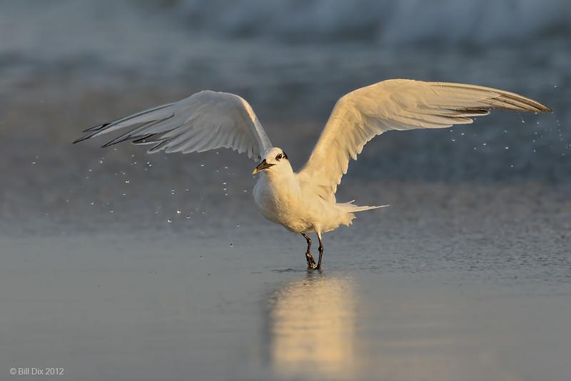 Sandwich Tern takeoff