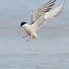Common Tern bathing