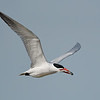 Caspian Tern with fish