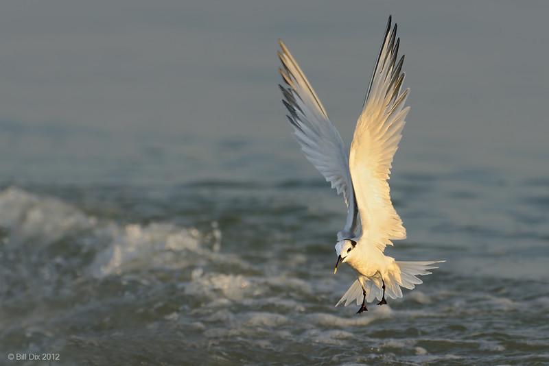 Sandwich Tern landing