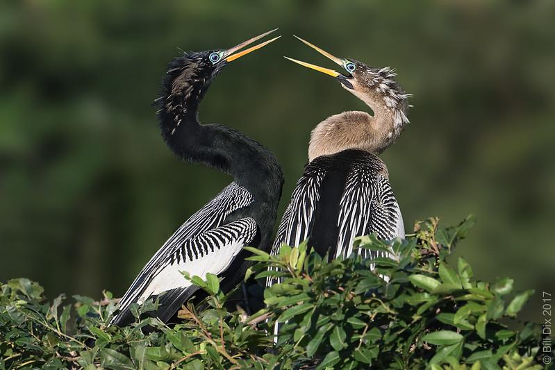 Anhinga Courtship