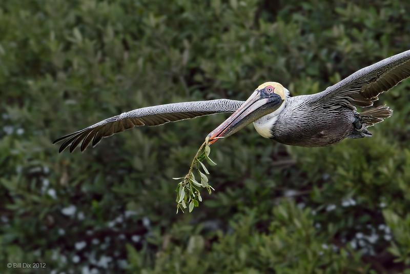 Brown Pelican bearing gift