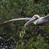 Brown Pelican bearing gift