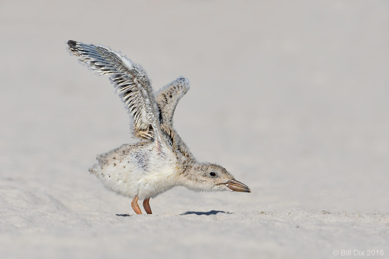 Black Skimmer Chick, wing stretch