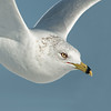 Ring-billed Gull, portrait in flight