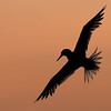 Sandwich Tern at Sunset