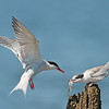Common Tern parent and juvenile