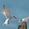 Common Tern parent and juvenile