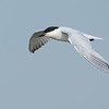 Gull-billed Tern in flight