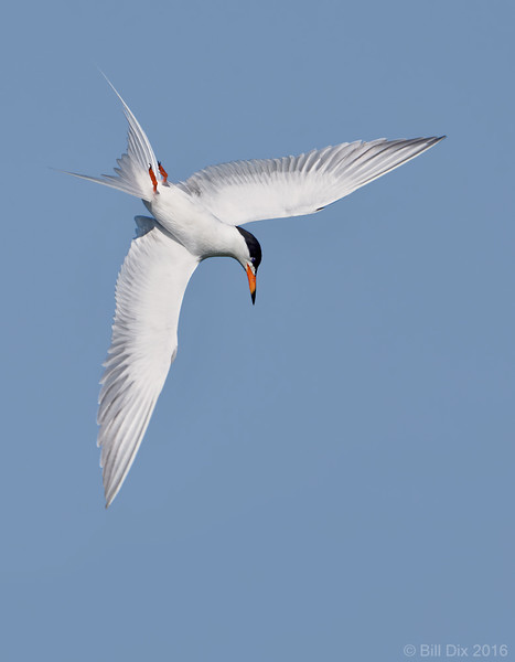 Forster's Tern Banking