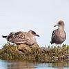 Western Gull pair