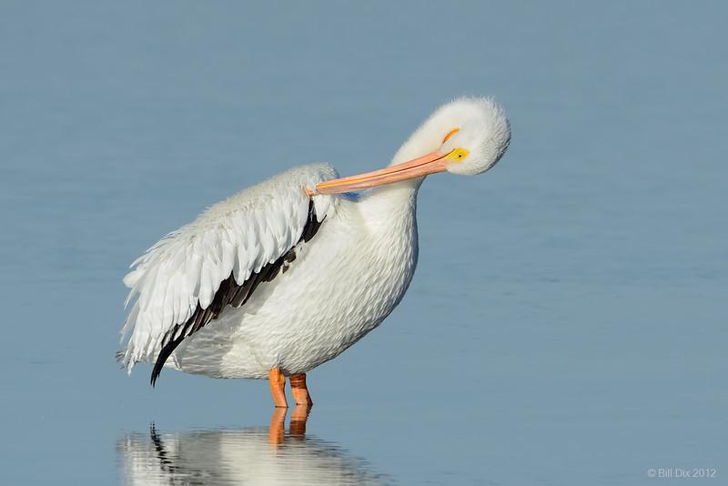 American White Pelican preening