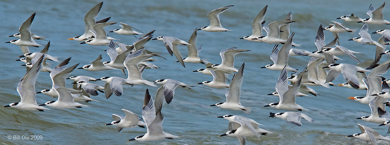 Sandwich Terns in flight