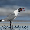 Laughing Gull laughing