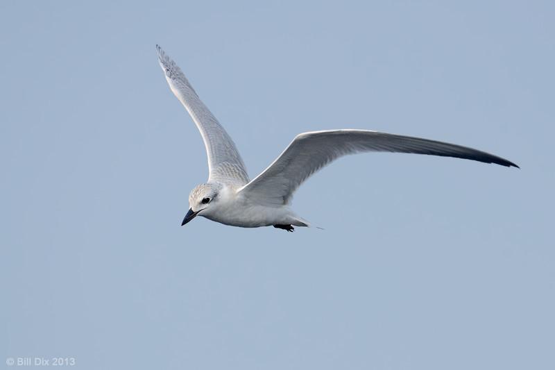 Gull-billed Tern juvenile