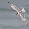 Common Tern in flight, dorsal view