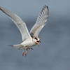 Forster's Tern juvenile in flight