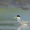Least Tern in tidepool